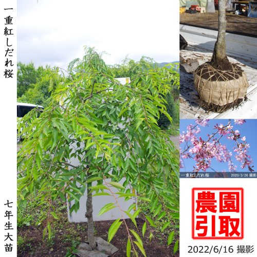 <img class='new_mark_img1' src='https://img.shop-pro.jp/img/new/icons14.gif' style='border:none;display:inline;margin:0px;padding:0px;width:auto;' />大苗◇サクラ(桜) 一重紅しだれ桜[地掘苗 2016年:3L(樹高high)]*農園引取のみ