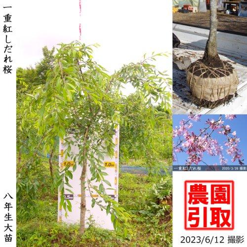 大苗◇サクラ(桜) 一重紅しだれ桜[地掘苗 2016年:LL]*農園引取のみ