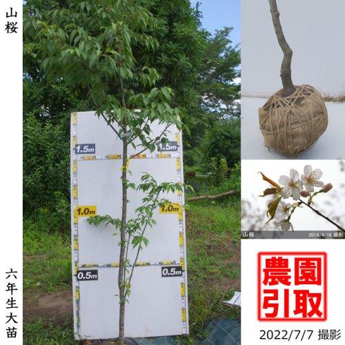 【予約商品】大苗◇サクラ(桜)山桜(ヤマザクラ)[地掘苗:5L]*農園引取のみ
