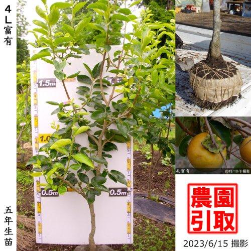 大苗◇サクラ(桜) 河津桜(カワヅザクラ)[地掘苗 2017年:M]