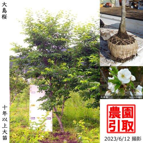 サクラ(桜)大島桜(オオシマザクラ)[地掘苗 2014年:3L(樹高high)]【A】*農園引取のみ