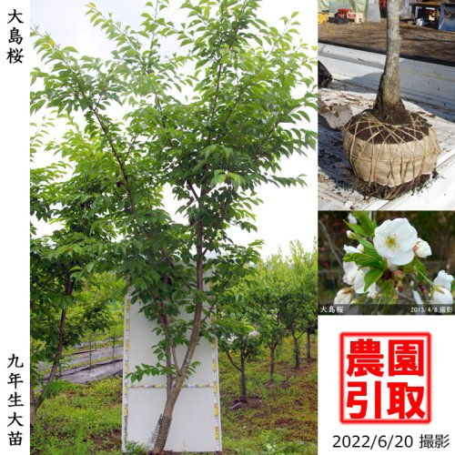 大苗◇サクラ(桜)大島桜(オオシマザクラ)[地掘苗 2014年:5L(樹高high)]*農園引取のみ