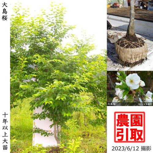 【予約商品】サクラ(桜)大島桜(オオシマザクラ)[地掘苗 2014年:4L(樹高high)]*農園引取のみ