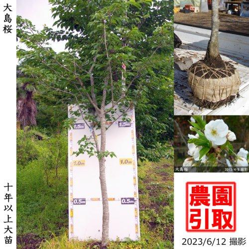 サクラ(桜)大島桜(オオシマザクラ)[地掘苗 2014年:3L(樹高high)]【C】*農園引取のみ