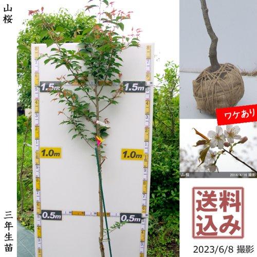 2年生苗◇サクラ(桜)山桜(ヤマザクラ)[地掘苗 2019年:L]◆根回し済◆