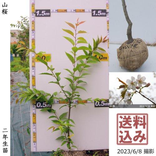 2年生苗◇サクラ(桜)山桜(ヤマザクラ)[地掘苗 2019年:M]