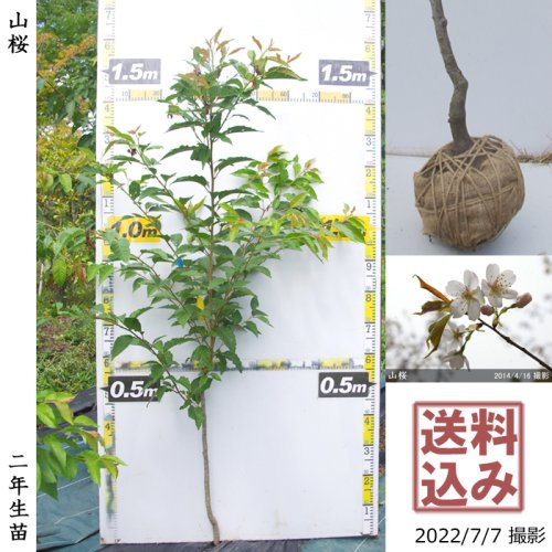 2年生苗◇サクラ(桜)山桜(ヤマザクラ)[地掘苗 2019年:M]◆根回し済◆