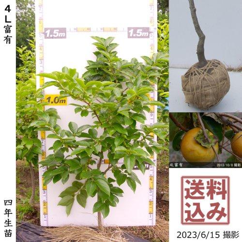 サクラ(桜)染井吉野(ソメイヨシノ)[地掘苗 2013年:3L]【B】*農園引取のみ