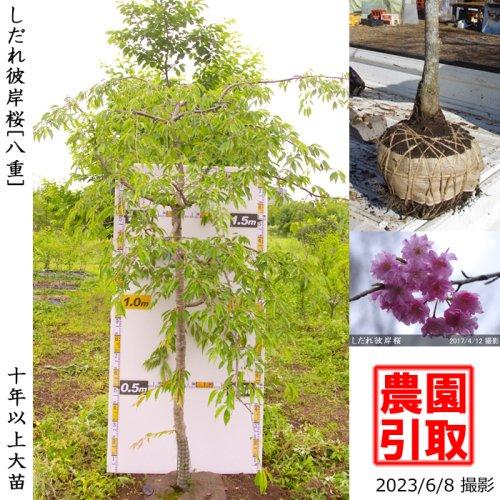 大苗◇サクラ(桜)染井吉野(ソメイヨシノ)[地掘苗 2015年:3L(樹高high)]*農園引取のみ