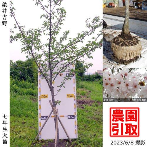 大苗◇サクラ(桜)染井吉野(ソメイヨシノ)[地掘苗 2016年:3L(樹高high)]*農園引取のみ