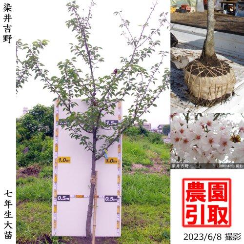 サクラ(桜)染井吉野(ソメイヨシノ)[地掘苗 2016年:中(樹高high)]*農園引取のみ