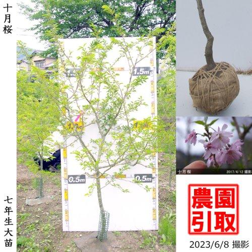 サクラ(桜)十月桜(ジュウガツザクラ)[地堀苗 2016年:特大]