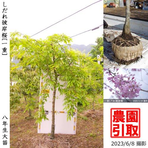 サクラ(桜) [八重]しだれ彼岸桜(しだれヒガンザクラ)[地堀苗 2013年:3L]*農園引取のみ