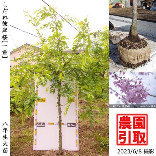 サクラ(桜) [一重]しだれ彼岸桜(しだれヒガンザクラ)[地堀苗 2016年:特大]*農園引取のみ