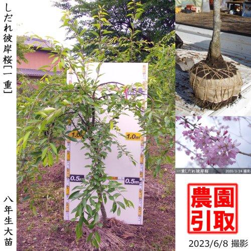 サクラ(桜) [一重]しだれ彼岸桜(しだれヒガンザクラ)[地堀苗 2016年:大(樹高high)]*農園引取のみ