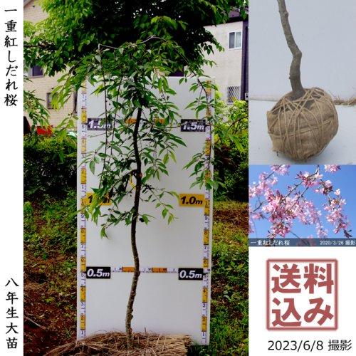 サクラ(桜) [一重]しだれ彼岸桜(しだれヒガンザクラ)[地堀苗 2016年:大]