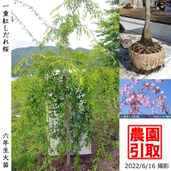 ◆超特価◆大苗◇サクラ(桜) 牡丹桜(ボタン桜)[地掘苗:特大(樹高high)]【A】*農園引取のみ◆ワケあり