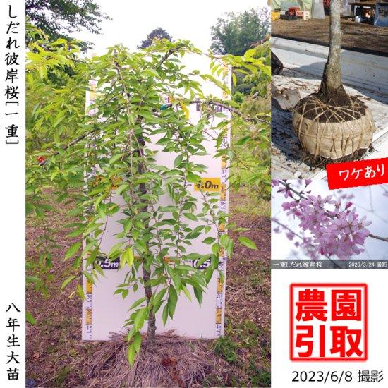 ◆超特価◆大苗◇サクラ(桜) 牡丹桜(ボタン桜)[地掘苗:特大(樹高high)]【B】*農園引取のみ◆ワケあり