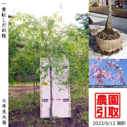 サクラ(桜) 関山(カンザン)八重桜[地掘苗 2014年:特大]*農園引取のみ
