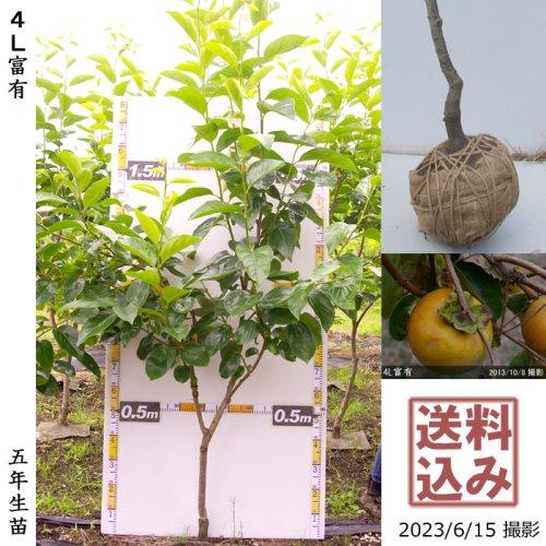 サクラ(桜) 関山(カンザン)八重桜[地掘苗 2016年:中]