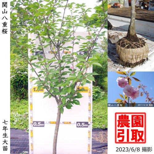 大苗◇サクラ(桜) 関山(カンザン)八重桜[地掘苗 2017年:L]*農園引取のみ
