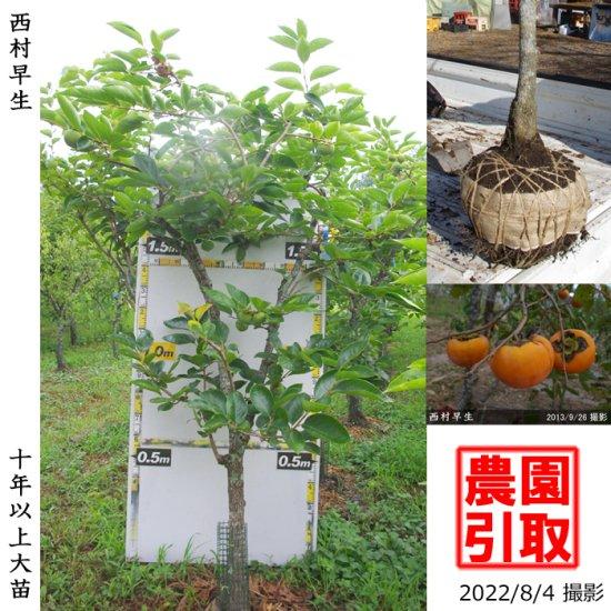 大苗◇柑橘類 甘夏みかん[地掘苗 2014年]