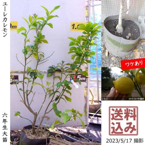 大苗◇柑橘類 レモン(檸檬) ユーレカ[地中ポット苗 2014年:M]〜実付実績〜