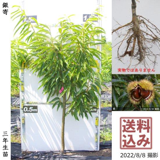 大苗◇柑橘類 甘夏みかん[地掘苗 2013年:中]~実付実績~◆ワケあり