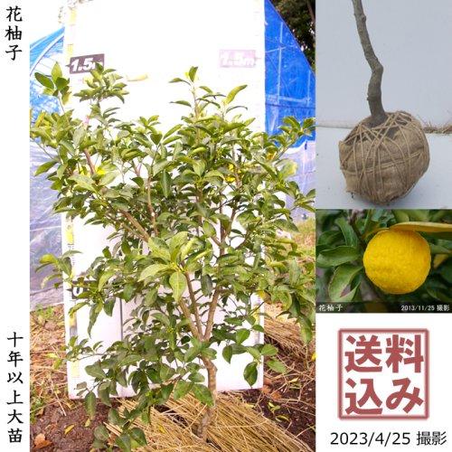 大苗◇柑橘類 花柚子(ハナユ・花ユズ)[地掘苗 2011年:M]〜実付実績〜◆ワケあり