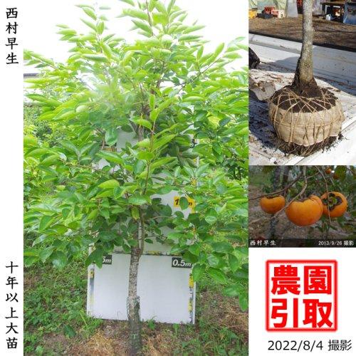 柑橘類 甘夏みかん[地掘苗:中]〜実付実績〜◆根回し済◆