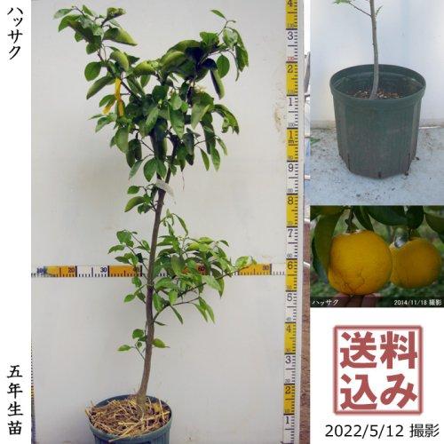 3年生苗◇柑橘類 ハッサク(八朔)[スリットポット苗 2018年:M]
