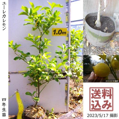 大苗◇柑橘類 夏みかん[地掘苗 2014年:LL]〜実付実績〜