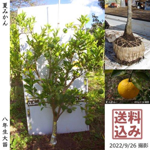大苗◇柑橘類 夏みかん[地掘苗 2015年:LL]〜実付実績〜