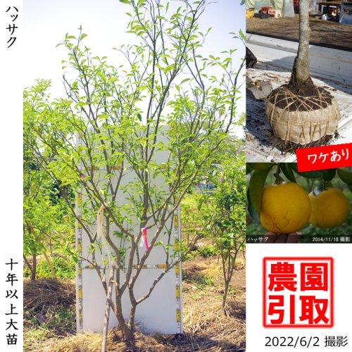 大苗◇柑橘類 ハッサク(八朔)[地掘苗 2012年:3L]*農園引取のみ