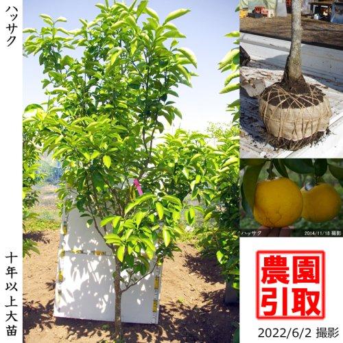大苗◇柑橘類 ハッサク(八朔)[地掘苗 2012年:LL]