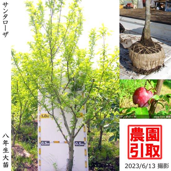 大苗◇柑橘類 ハッサク(八朔)[地掘苗 2012年:中]