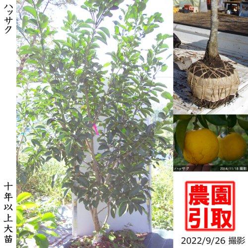 大苗◇柑橘類 ハッサク(八朔)[地掘苗 2013年:M]