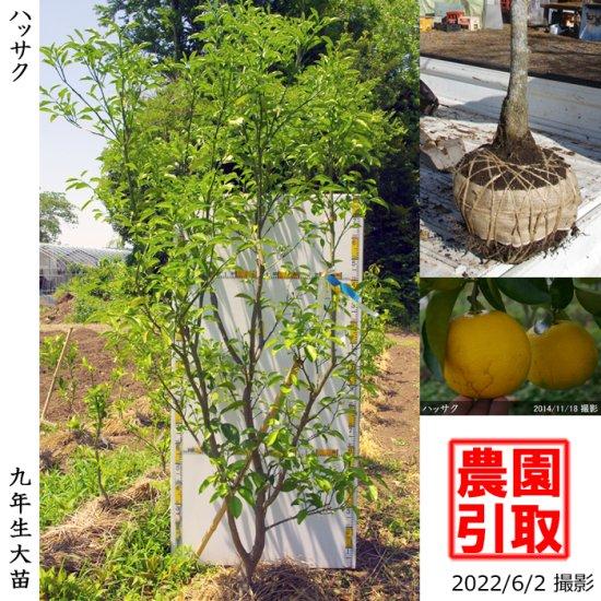 大苗◇柑橘類 ハッサク(八朔)[地掘苗 2013年:大]