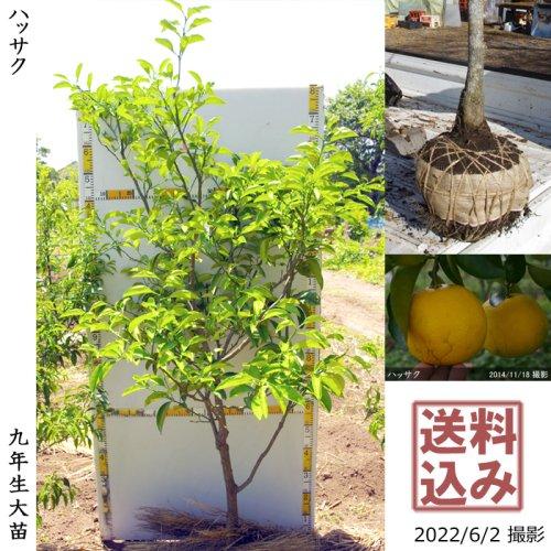 大苗◇柑橘類 ハッサク(八朔)[地掘苗 2014年:L]