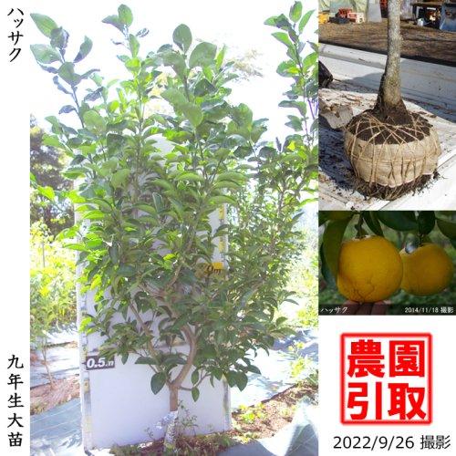 【予約商品】大苗◇柑橘類 ハッサク(八朔)[地掘苗 2014年:L]