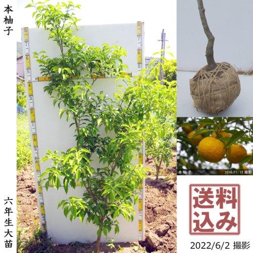 柑橘類 本柚子(ほんゆず)[地堀苗 2015年:特大]