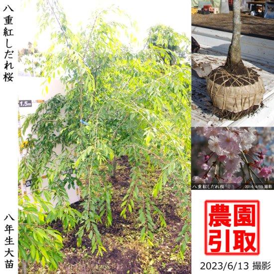 大苗◇柑橘類 本柚子(ほんゆず)[地堀苗 2015年:小]