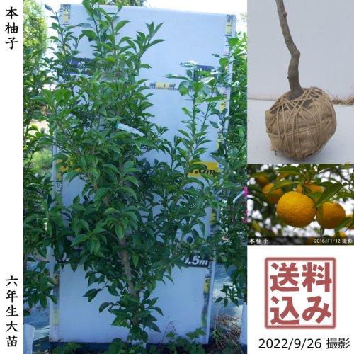 柑橘類 本柚子(ほんゆず)[地中ポット苗 2012年:小]〜実付実績〜
