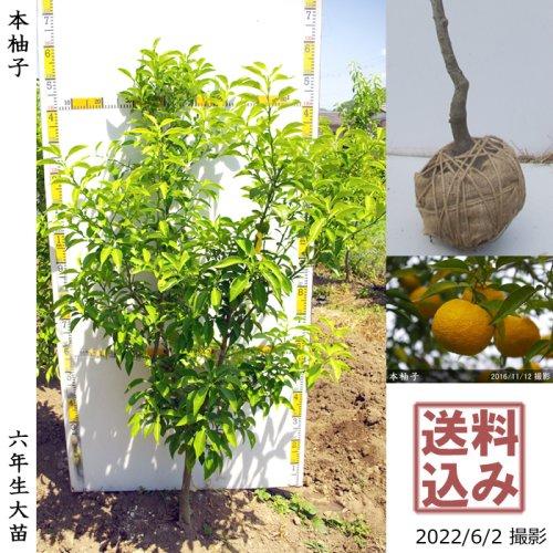 大苗◇柑橘類 本柚子(ほんゆず)[地掘苗 2017年:L]