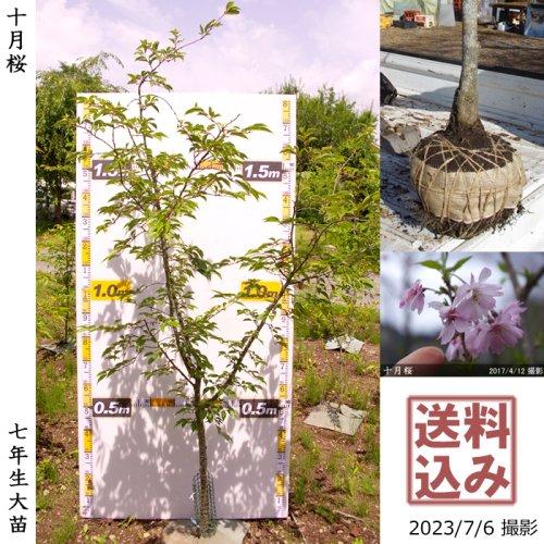 2年生苗◇サクラ(桜)十月桜(ジュウガツザクラ)[地掘苗 2018年:L]◆根回し済◆