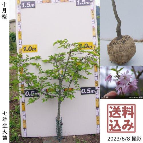 2年生苗◇サクラ(桜)十月桜(ジュウガツザクラ)[地掘苗 2018年:M]◆根回し済◆
