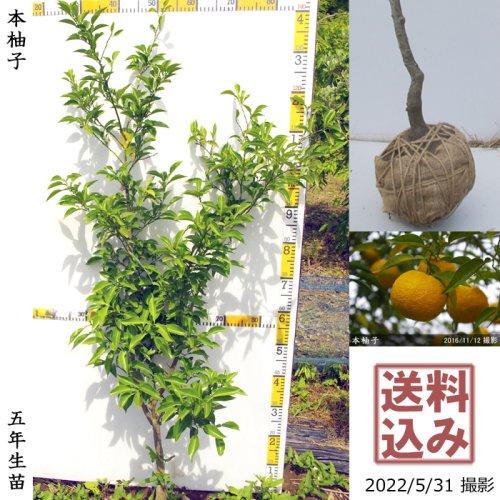 大苗◇柑橘類 本柚子(ほんゆず)[地掘苗 2017年:S]
