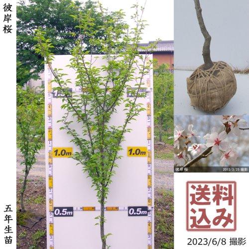 柑橘類 シマダイダイ(縞橙)[地掘苗 2016年:小]〜実付実績〜