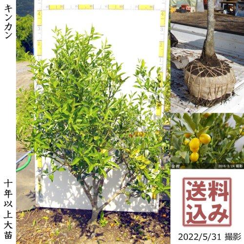 大苗◇柑橘類 キンカン(金柑)[地掘苗 2013年:S]〜実付実績〜