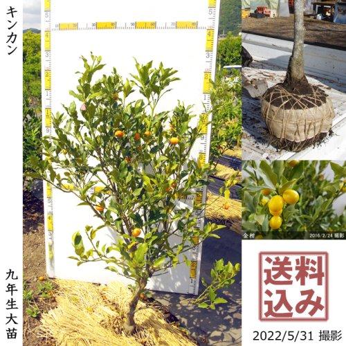 大苗◇柑橘類 キンカン(金柑)[地掘苗 2014年:S]〜実付実績〜